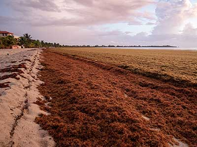 massive waves of rotting sargassum seaweed choke the beaches of Belize in 2019